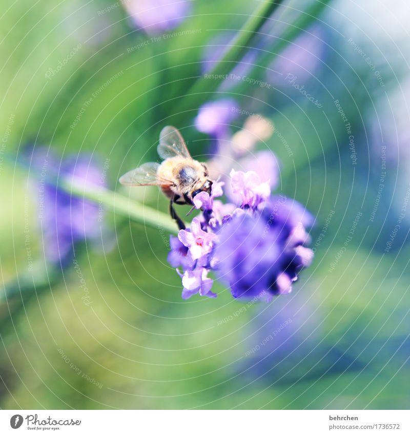 von bienchen und blümchen Natur Pflanze Tier Sommer Schönes Wetter Blume Blatt Blüte Lavendel Garten Park Wiese Wildtier Biene Tiergesicht Flügel 1 Blühend Duft