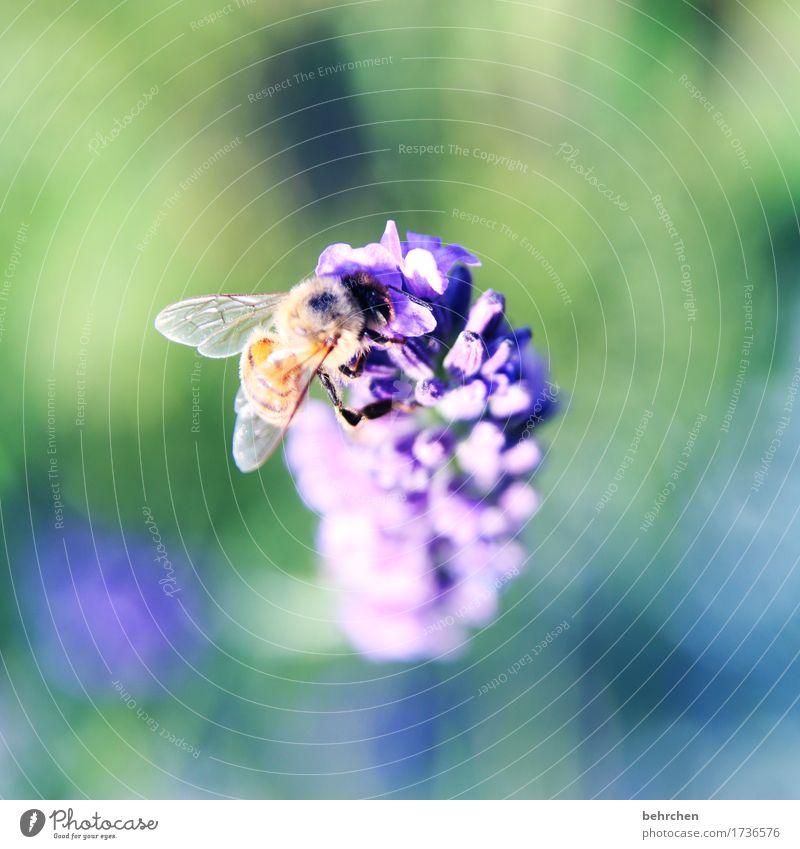 ICH... Natur Pflanze Tier Sommer Schönes Wetter Blume Blatt Blüte Lavendel Garten Park Wiese Wildtier Biene Flügel 1 beobachten Blühend Duft fliegen Fressen