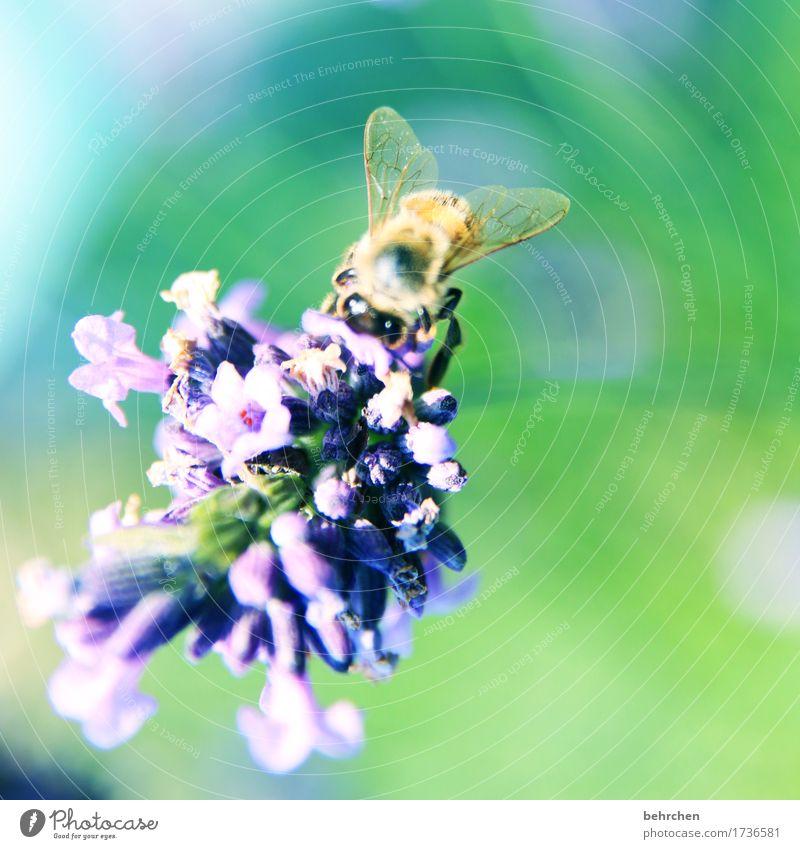 ...SOMMER! Natur Pflanze Tier Sommer Schönes Wetter Blume Blatt Blüte Lavendel Garten Park Wiese Wildtier Biene Tiergesicht Flügel 1 beobachten Blühend Duft