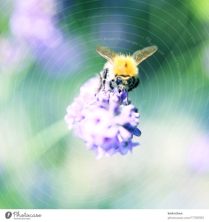 lavendelrausch Natur Pflanze Tier Sommer Schönes Wetter Blume Blatt Blüte Lavendel Garten Park Wiese Wildtier Biene Tiergesicht Flügel 1 beobachten Blühend Duft