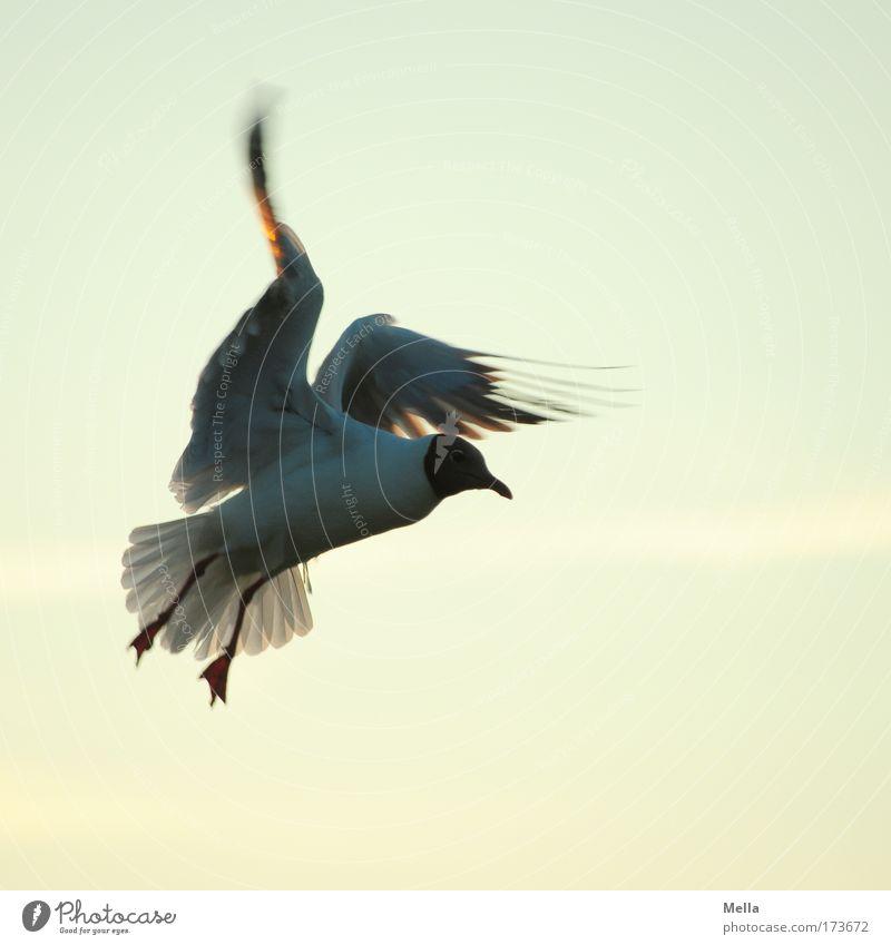 Bremsmanöver Natur Himmel Tier Bewegung Freiheit Vogel Umwelt fliegen frei Flügel Lebensfreude Neugier Mut Wildtier Möwe Interesse