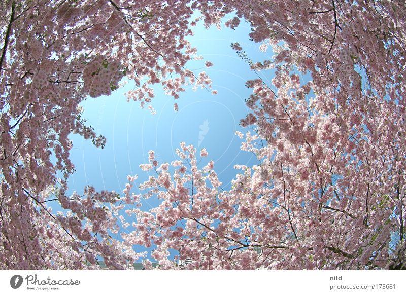 rosa-blau I Natur Himmel Baum Pflanze ruhig Blüte Frühling Umwelt Fröhlichkeit Lebensfreude Begeisterung Frühlingsgefühle Fischauge Wolkenloser Himmel