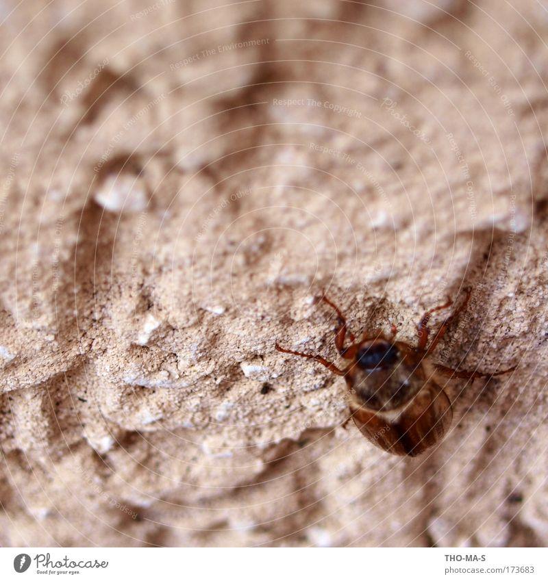 Cliffhanger Natur Tier Umwelt Wand grau Stein braun Kraft gehen natürlich frei authentisch Flügel berühren hängen Käfer