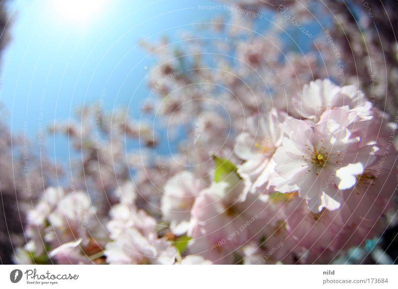rosa-blau II Natur Himmel Baum Pflanze Freude ruhig Leben Blüte Frühling Park Umwelt Fröhlichkeit Lebensfreude Begeisterung Frühlingsgefühle Wolkenloser Himmel