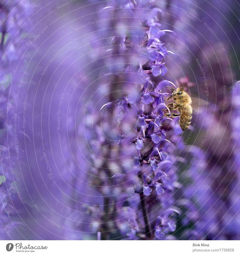 Nahrungssuche Umwelt Natur Pflanze Tier Frühling Garten Park Nutztier Wildtier Biene Flügel 1 Blühend Essen fliegen krabbeln violett fleißig diszipliniert