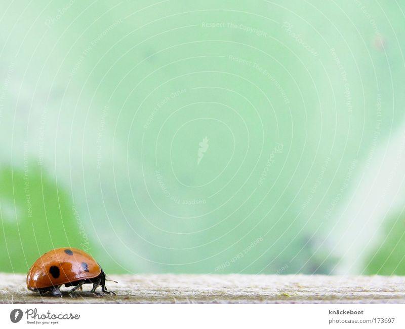 marienkäfer Farbfoto Außenaufnahme Makroaufnahme Tag Froschperspektive Natur Tier Wasser Sommer Käfer 1 Umweltschutz