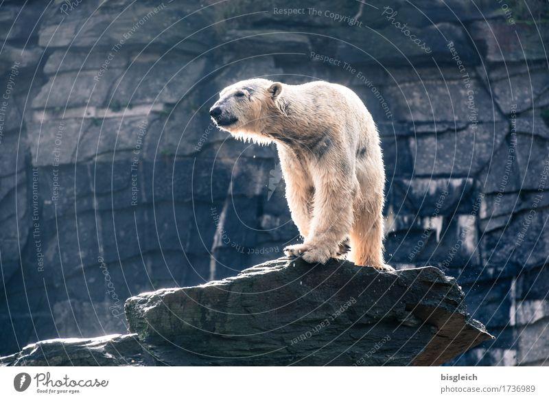 Ein Bad am Morgen II Tier Wildtier Eisbär 1 Blick stehen groß stark blau grau weiß Macht Kraft Stolz Farbfoto Gedeckte Farben Außenaufnahme Menschenleer