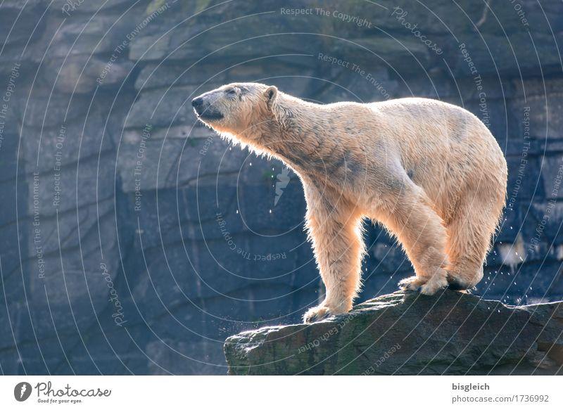 Ein Bad am Morgen III blau weiß Tier grau Kraft Wildtier stehen Eisbär