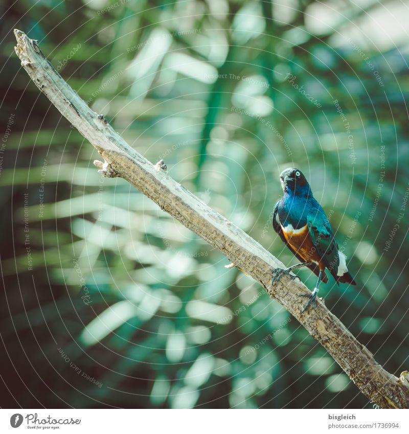 Bunter Vogel Tier 1 Blick sitzen exotisch mehrfarbig grün Farbfoto Außenaufnahme Menschenleer Tag Schwache Tiefenschärfe Blick in die Kamera