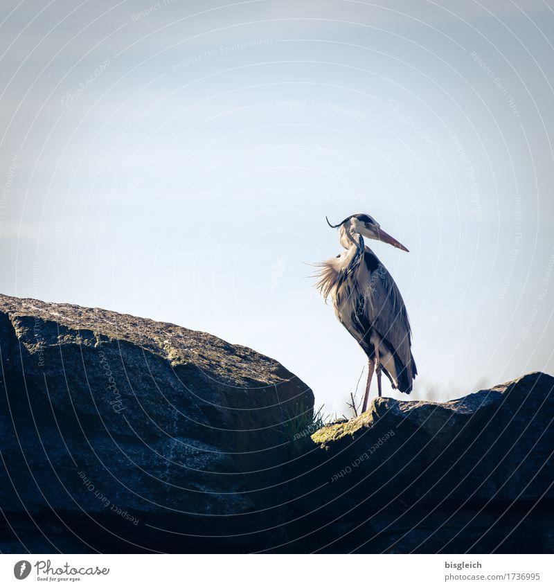 Schulterblick blau Tier ruhig grau Vogel stehen Wachsamkeit geduldig achtsam Reiher Graureiher