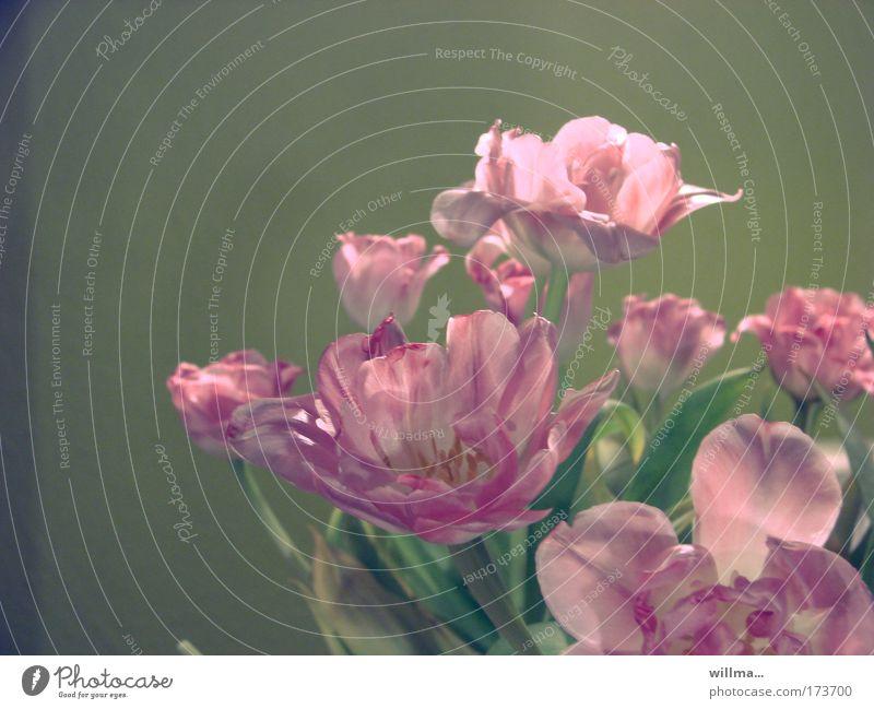 """ästhetik der vergänglichkeit Trauerfeier Beerdigung Pflanze Tulpe rosa Duft Kitsch Verfall Vergänglichkeit Wandel & Veränderung verblüht Blüte alt """"Schönheit"""
