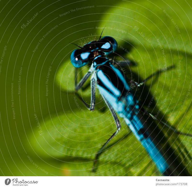 Natur schön grün blau Pflanze Sommer Blatt schwarz Tier gelb Gras Wärme weich Tiergesicht einfach Flügel