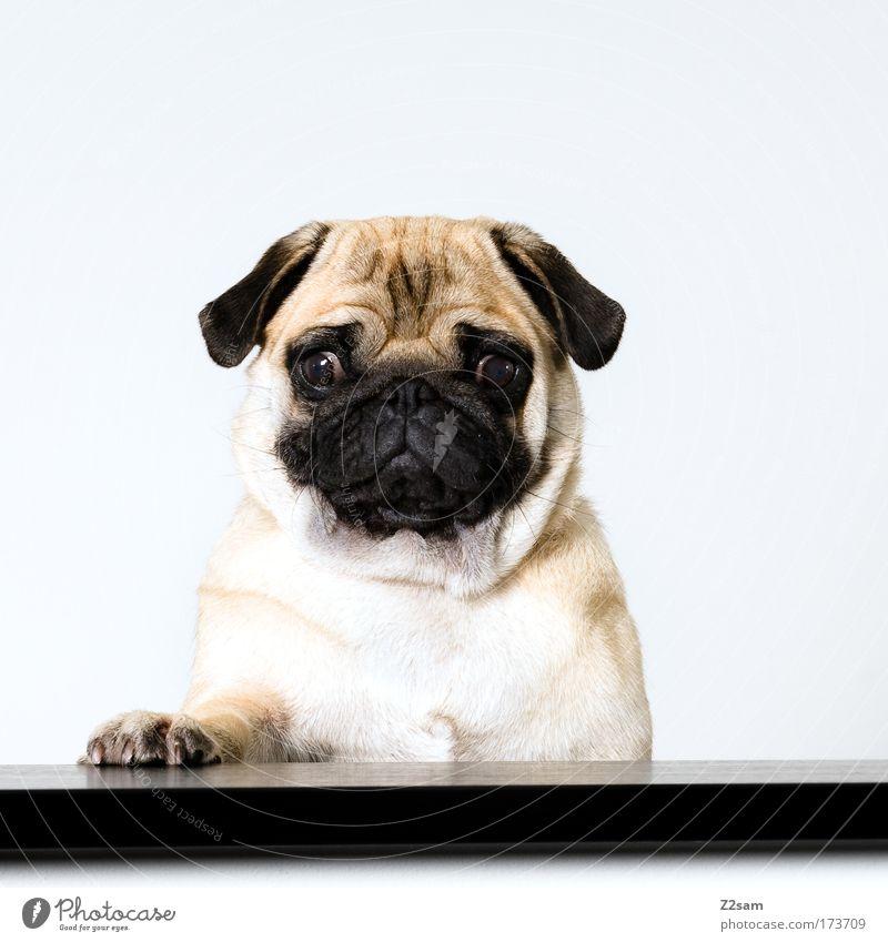 PAUL Farbfoto Innenaufnahme Blitzlichtaufnahme Blick in die Kamera Haustier Hund hocken Coolness frech hässlich schön Mops Redner Rednerpult sprecher Pfote