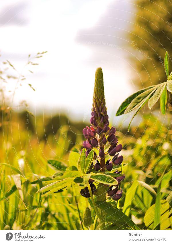 Lila Dingsda Himmel Natur weiß grün schön Baum Pflanze Sonne Sommer Blume Freude Wolken Landschaft gelb Wärme Gras