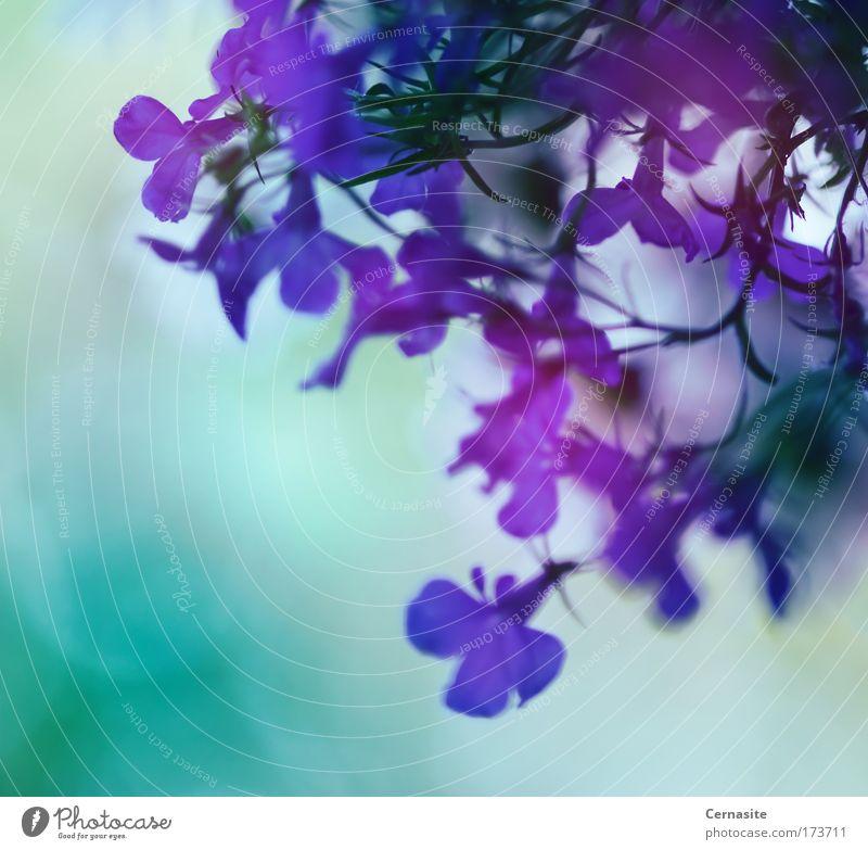 Natur blau weiß grün schön Sommer Blume Wiese dunkel kalt Wärme Blüte hell Park natürlich frisch