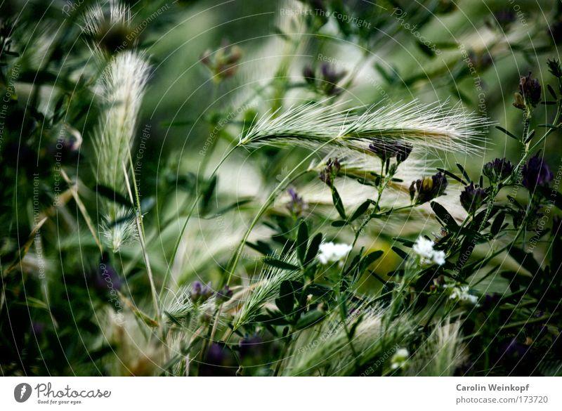 Heuschnupfen IX. Natur blau weiß grün schön Pflanze Sommer Blume Umwelt Wiese Gras Blüte Park Feld Freizeit & Hobby Ausflug
