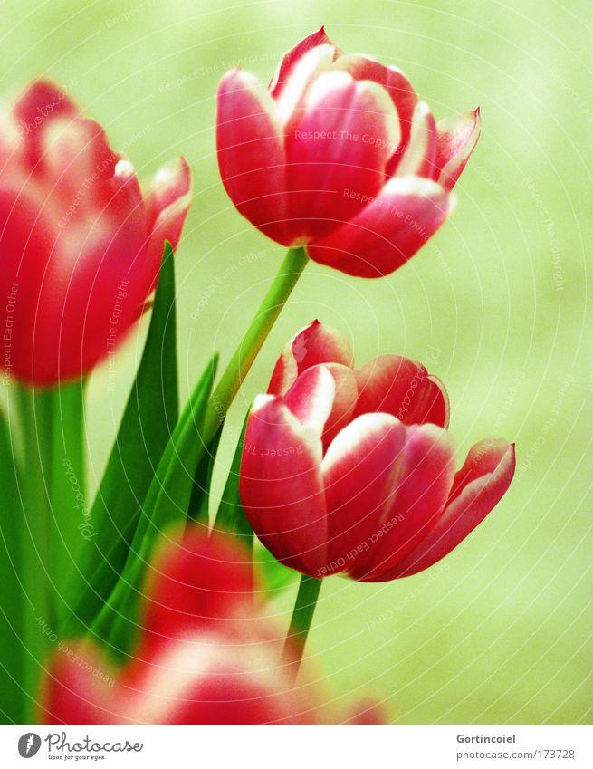 Lale Dekoration & Verzierung Natur Pflanze Frühling Sommer Blume Tulpe Blüte Stengel Vase ästhetisch frisch schön grün rosa rot ikebana Blumenstrauß
