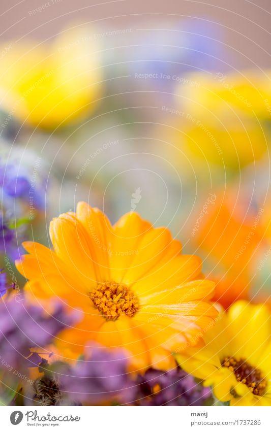 Ringel Ringel-Blümchen Pflanze Frühling Sommer Blume Blüte Ringelblume Blumenstrauß mehrfarbig glänzend schön orange Lebensfreude Frühlingsgefühle Kraft knallig