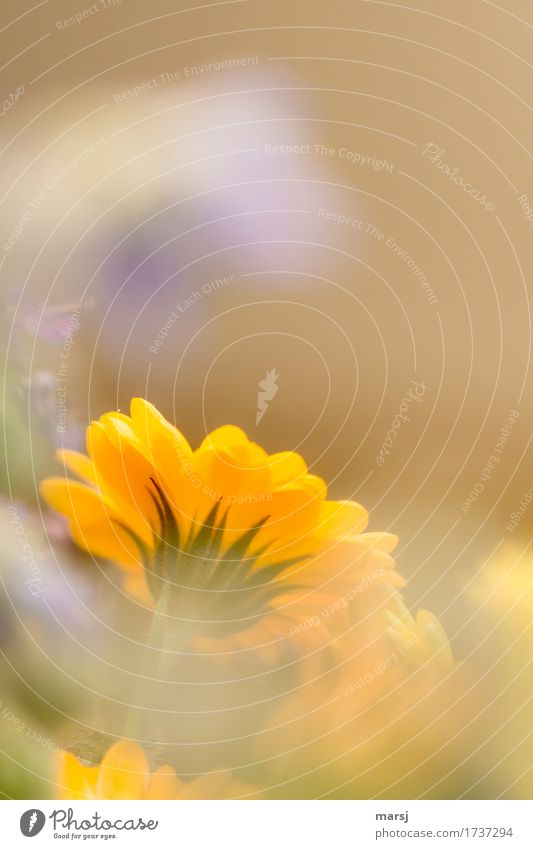 Unterseite mit Spitze Wohlgefühl ruhig Pflanze Blume Blüte Ringelblume Blühend leuchten orange Frühlingsgefühle Farbfoto mehrfarbig Nahaufnahme Makroaufnahme