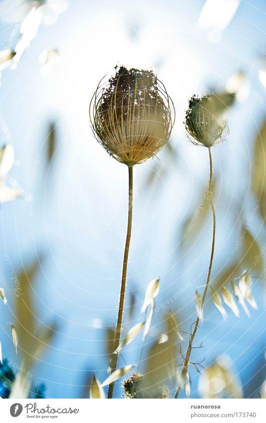 Sonne Blume blau Pflanze Sommer Farbe Blüte Gras Feld Kunst Mauerpflanze