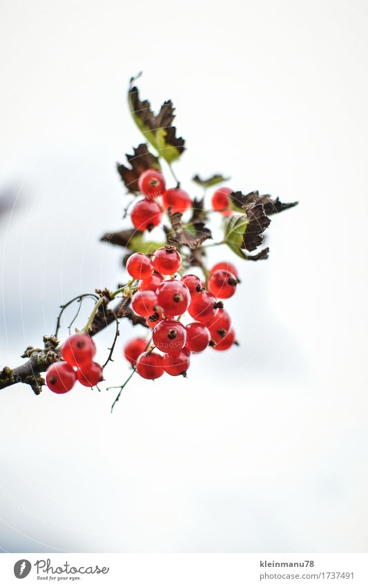 Johannisbeere Natur Pflanze Sommer Gesunde Ernährung Sonne rot Blatt Essen Garten Lebensmittel Frucht Sträucher genießen Blühend Lebensfreude
