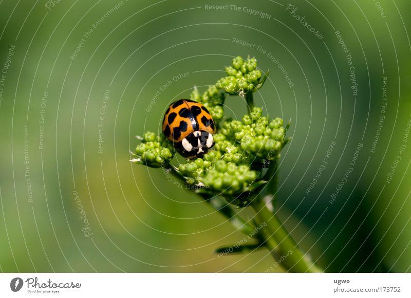 Marienkäfer auf Petersilie Natur ruhig Warmherzigkeit Käfer unschuldig Tierliebe