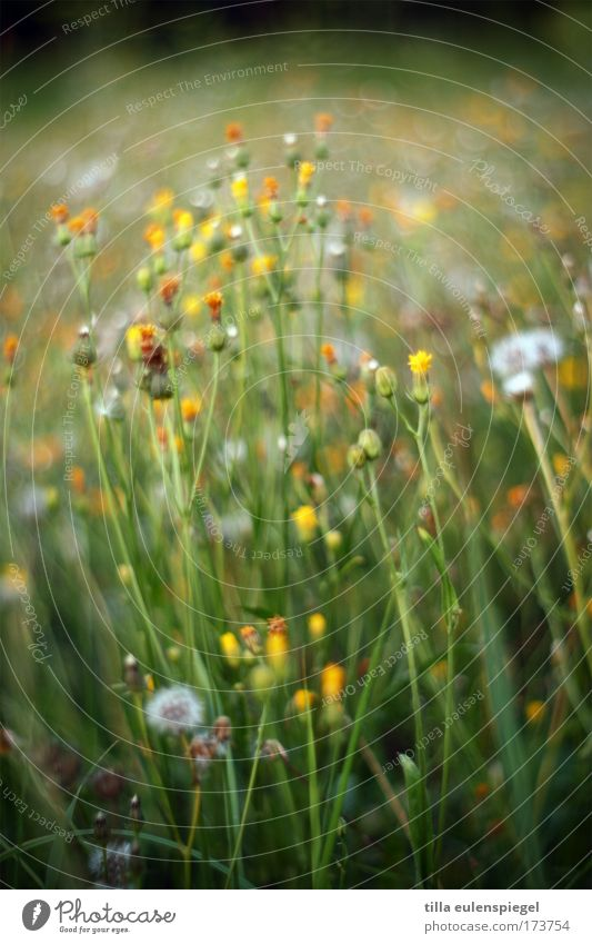 monet Farbfoto Außenaufnahme Abend Sonnenaufgang Sonnenuntergang Schwache Tiefenschärfe Blume Löwenzahn Wiese natürlich grün Natur träumen Sommer sommerlich