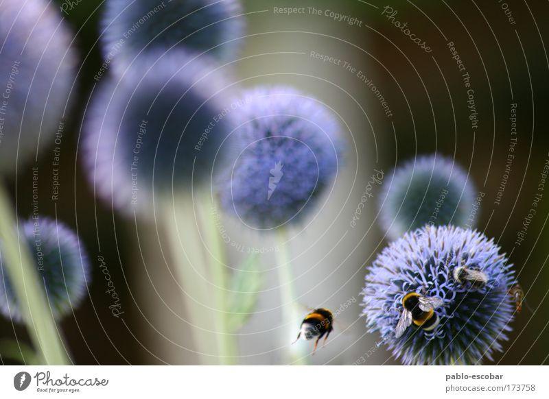 Planetensystem Natur Blume blau Pflanze Sommer ruhig Tier gelb Stimmung Umwelt gold Tiergruppe Flügel beobachten Biene Wildtier