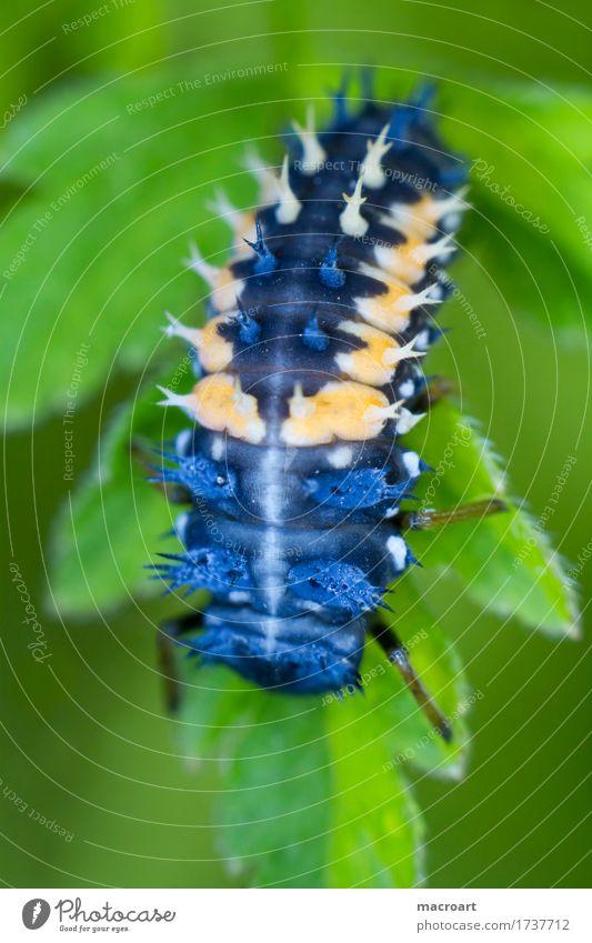 Larvenstadium eines Marienkäfers Pflanze blau grün Blatt Tier klein orange Insekt Käfer stachelig Entwicklung Stachel pflanzlich Hochformat