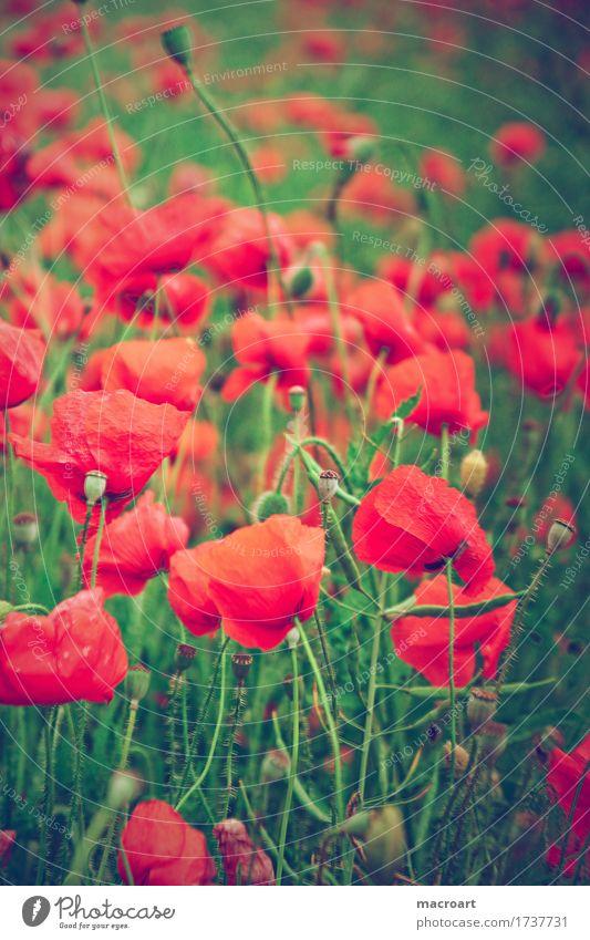 Mohnfeld Natur Sommer grün Blume rot Blüte natürlich Klatschmohn