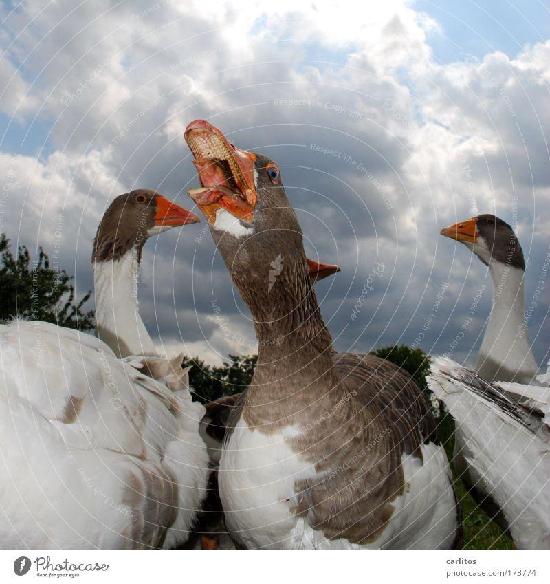 Ich hab so'n Hals, mein Freund. Weitwinkel Tierporträt Wiese Dorf Haustier Flügel Gans Feder Federvieh Tiergruppe beobachten Blick schreien Aggression