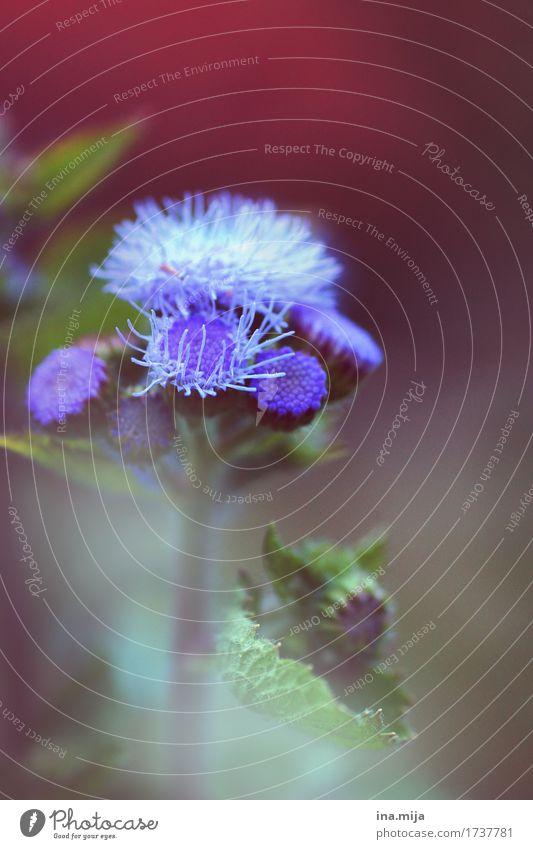 Gartenblume Natur Pflanze blau Sommer Farbe schön Blume rot Umwelt Blüte Wiese Wachstum Blühend weich Hoffnung