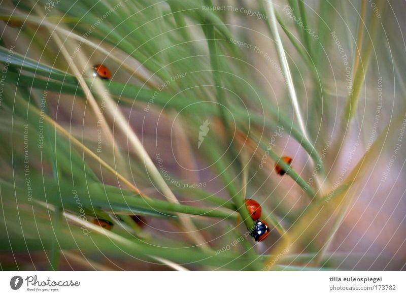 gegenverkehr Strand Tier Tiergruppe natürlich Stranddüne Ostsee Marienkäfer Käfer krabbeln Dünengras