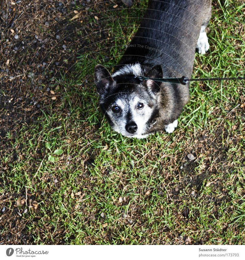 Unter Röcke gucken leicht gemacht Blick alt schwarz Tier Gras grau Hund Park warten Seil hoch Erde Wachstum Fell niedlich Haustier