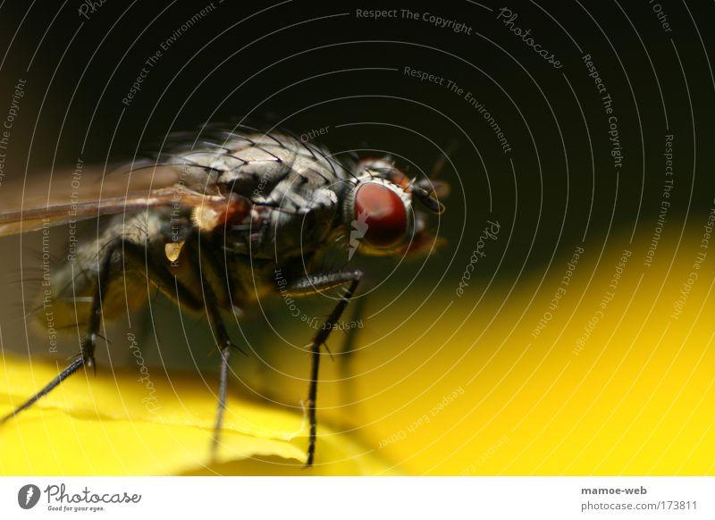 Macro Fly schwarz Tier Einsamkeit gelb klein Tierjunges Fliege groß Wildtier außergewöhnlich stehen bedrohlich einzigartig Tiergesicht nah gruselig
