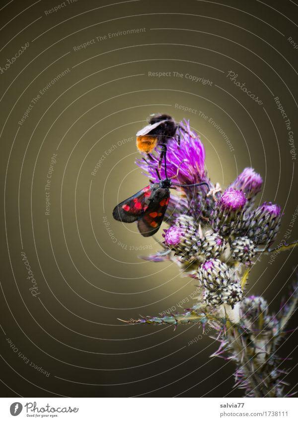 Platz für zwei? Umwelt Natur Pflanze Tier Sommer Blume Blüte Wildpflanze Distel Wildtier Schmetterling Hummel Widderchen Steinhummel 2 Duft krabbeln