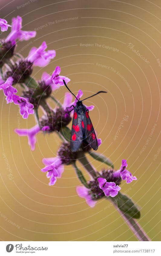 Sechsfleck Natur Pflanze Farbe Sommer Blume Tier ruhig Umwelt Blüte Liebe Glück Zufriedenheit Wildtier ästhetisch genießen Flügel