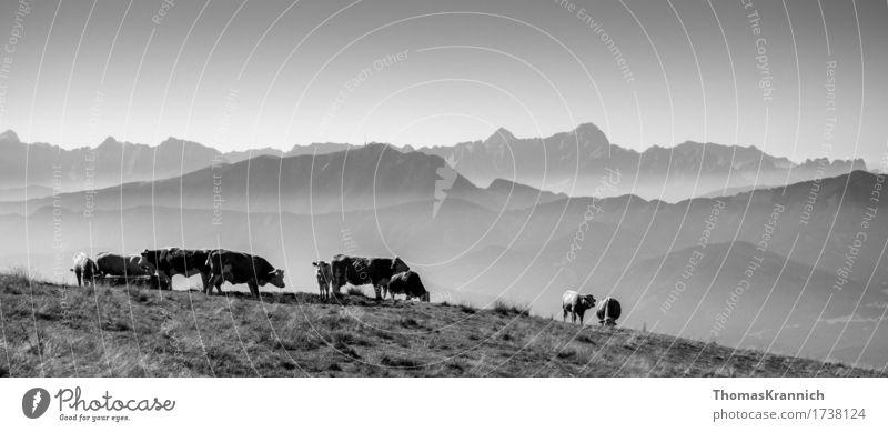 Kühe mit alpinem Ausblick Himmel Natur Ferien & Urlaub & Reisen Sommer Landschaft Tier ruhig Ferne Berge u. Gebirge Gras Freiheit Tourismus Freizeit & Hobby wandern Idylle Ausflug