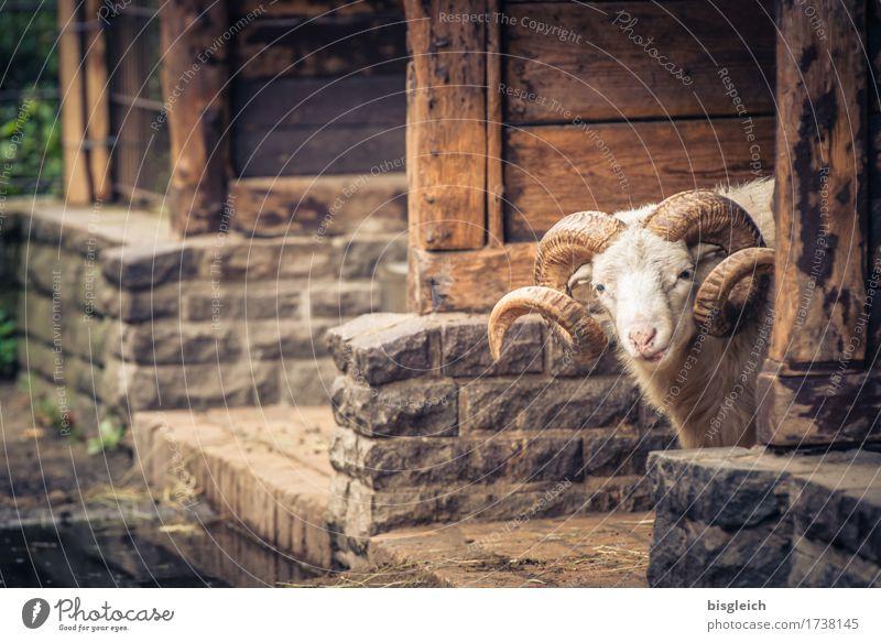 guckst du!? Tier Haustier Schaf Schafsbock 1 Blick braun achtsam Wachsamkeit Farbfoto Außenaufnahme Tag