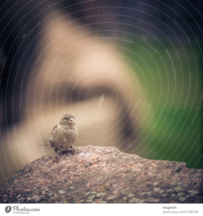 Noch ein Spatz grün Tier klein grau braun Vogel sitzen