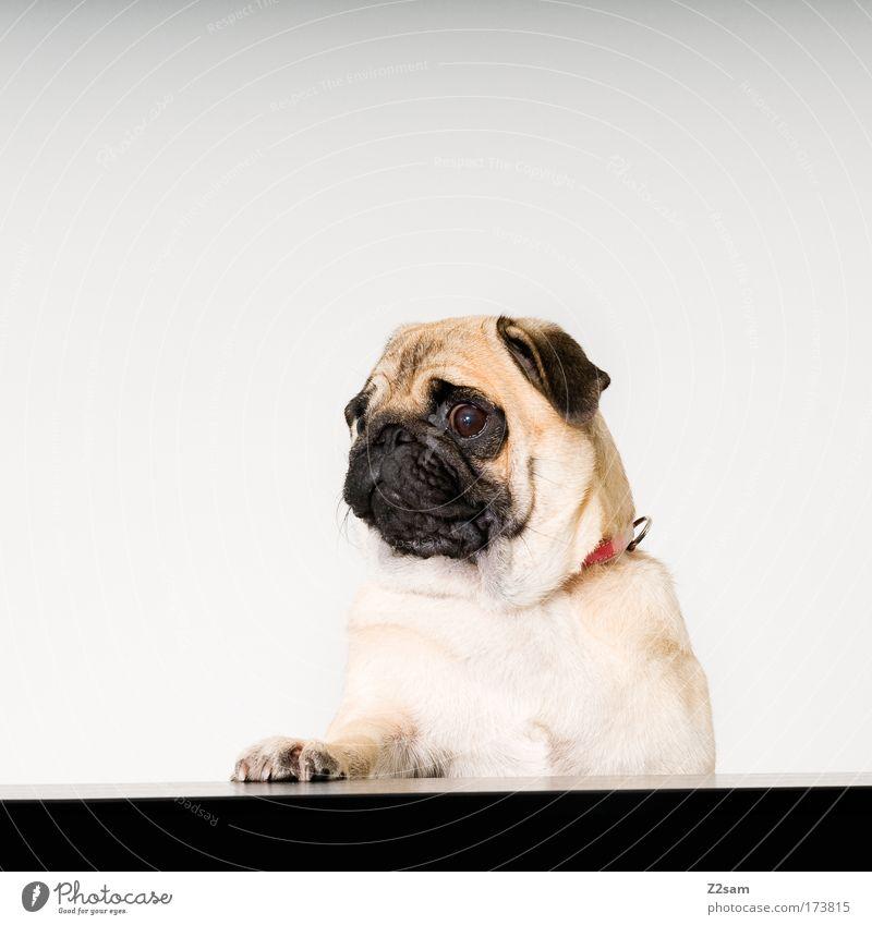 Paul II schön Tier Gefühle Hund Traurigkeit Kraft stehen frech Haustier Pfote Treue Mops Politik & Staat Wahlen Rednerpult Wahlkampf