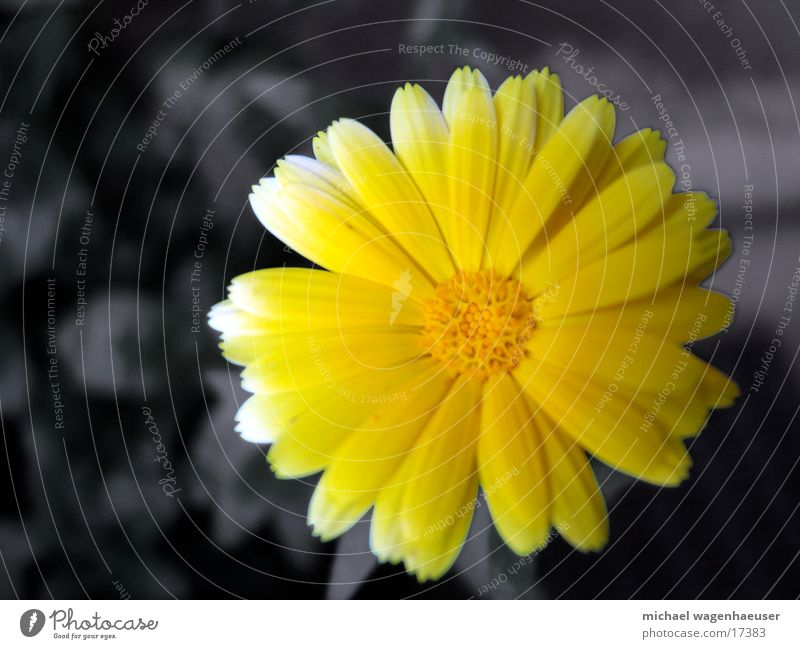 Gelbe Blume Natur Blume gelb grau