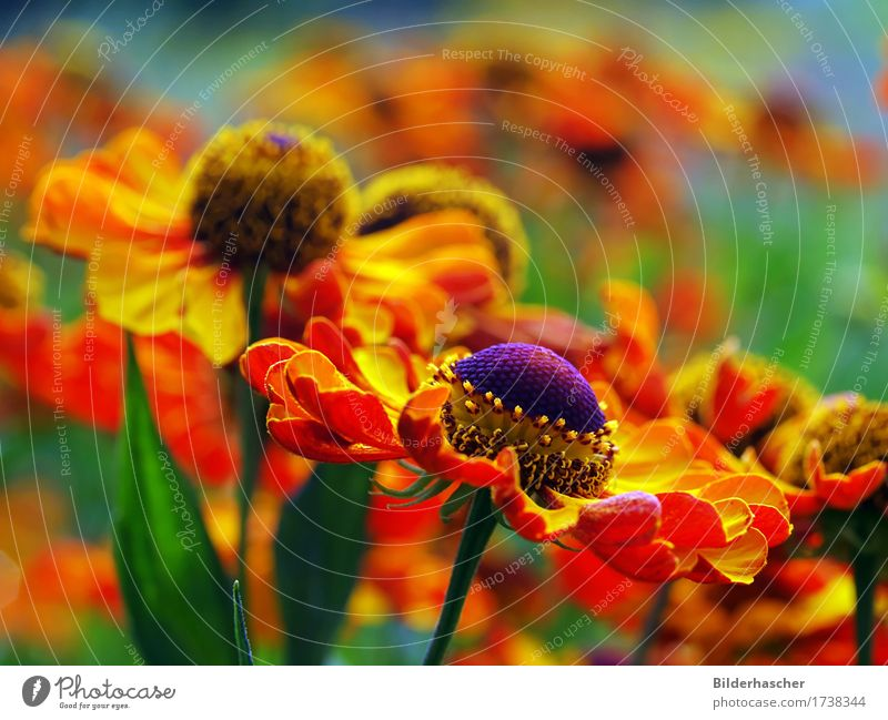 Rudbeckie Sonnenhut Blüte Korbblütengewächs Blumenbeet Kanadische Goldrute Sonnenblume Nektar Pollen sommerpflanze leuchten Leuchtkraft Garten Nahaufnahme