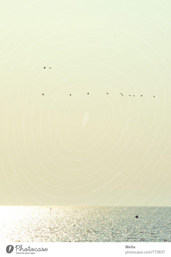 Abendlicher Flugverkehr Natur Wasser Himmel Meer ruhig gelb Freiheit Landschaft Luft Stimmung Zusammensein Vogel Küste glänzend Umwelt fliegen