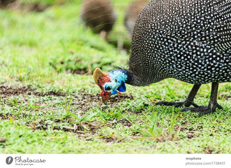 Helmperlhuhn Essen Ferien & Urlaub & Reisen Tourismus Umwelt Natur Pflanze Gras Wiese Tier Wildtier Tiergesicht 1 Tiergruppe Fressen blau rot schwarz weiß