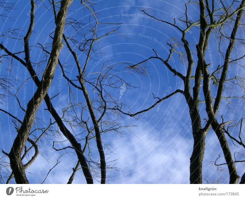 Laublos Farbfoto Außenaufnahme Menschenleer Textfreiraum unten Tag Natur Pflanze Himmel Wolken Baum blau braun weiß Geäst Zweige u. Äste Kahlschlag Wolkenhimmel