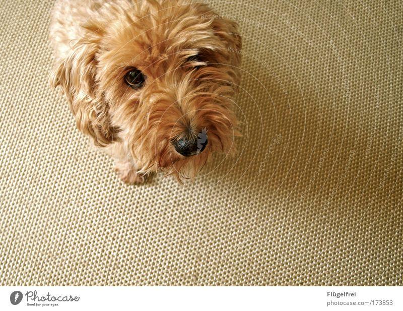 Einfach mal lieb gucken, vielleicht klappt's ja Tier Haustier Hund 1 ruhig betteln Stupsnase Hundeblick süß Rauhaardackel Ohr Neugier Teppich beige Knopfauge