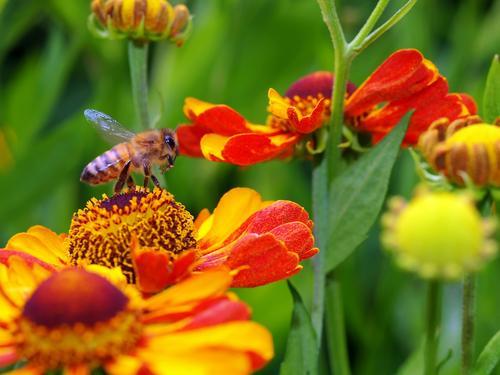 Abflug Biene Honigbiene Insekt Fluginsekt Antenne Flügel Wildtier Sonnenhut Blüte Korbblütengewächs Blumenbeet Kanadische Goldrute Sonnenblume gelb Nektar
