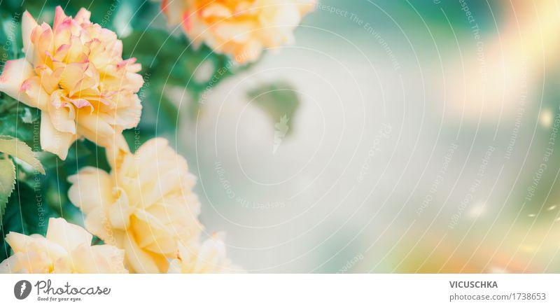 Gelbe Rosen, Natur Hintergrund Design Sommer Garten Pflanze Blume Blatt Blüte Park weich gelb rosa Hintergrundbild Rosenblätter Rosengewächse grün Farbfoto