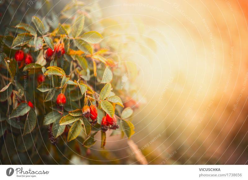 Herbst Natur Hintergrund Lifestyle Design Garten Pflanze Sonnenaufgang Sonnenuntergang Schönes Wetter Rose Park Wald gelb Herbstlaub Herbstfärbung Hundsrose